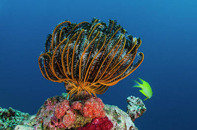 Bennett Photograph - Bennett's Feather Star (oxycomanthus by Pete Oxford