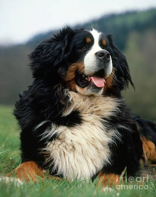 Bernese Mountain Dog Photograph - Bernese Mountain Dog by Hans Reinhard