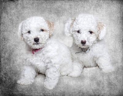 Robert Jensen Photograph - Bichon Maltipoo Puppy Dogs by Robert Jensen