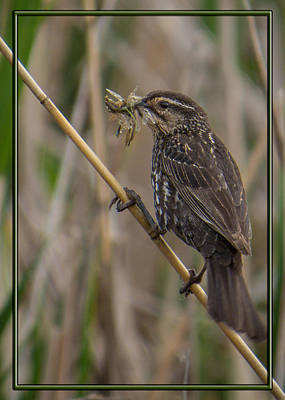 Photograph - Big Dinner For Female Red Winged Blackbird I by Patti Deters
