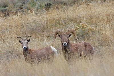 River Photograph - Big Horn Sheep by Gary Wing