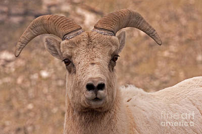Photograph - Big Horn Sheep Ram by Fred Stearns