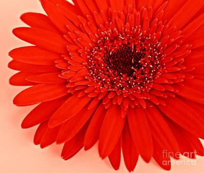 Gerbera Photograph - Big Red by Clare Bevan