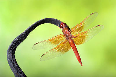 Robert Jensen Photograph - Big Red Skimmer Dragonfly by Robert Jensen