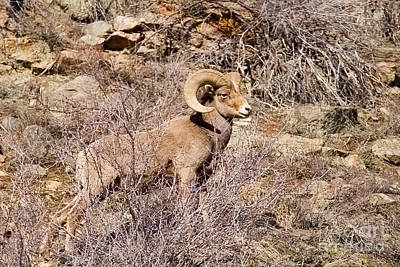 Steven Krull Royalty-Free and Rights-Managed Images - Bighorn Sheep by Steven Krull