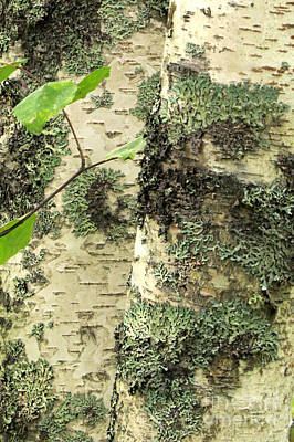 Photograph - Birch Bark by Frank Townsley