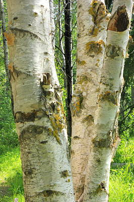 Photograph - Birch Tree by Jim Sauchyn
