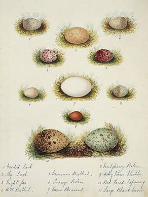 Lapwing Wall Art - Photograph - Bird Eggs From India by Natural History Museum, London/science Photo Library