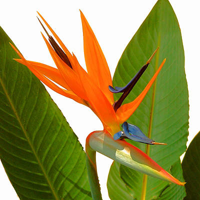 Photograph - Bird Of Paradise by Peg Urban