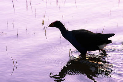 Moorhen Photograph - Bird Wading Through Tranquil Lake Waters by Jorgo Photography - Wall Art Gallery