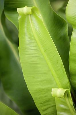 Nature Unfurls Photograph - Bird's Nest Fern (asplenium Nidus) by Maria Mosolova