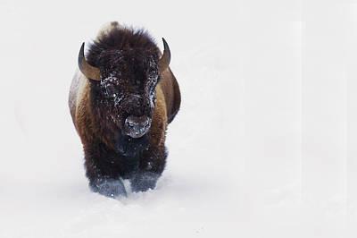 Bison Photograph - Bison Bull by Ken Archer