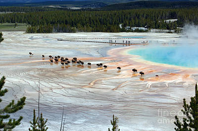 Great Outdoors Photograph - Bison Crossing Edge Of Grand Prismatic Spring In Yellowstone National Park by Shawn O'Brien