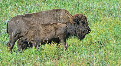 Photograph - Bison by Jim Boardman