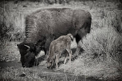 Photograph - Bison Mother With Newborn by Greg Norrell