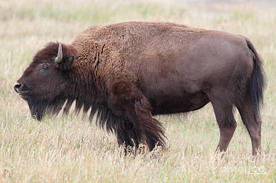 Photograph - Bison Teton National Park by Steve Javorsky