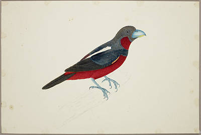 Broadbill Photograph - Black And Red Broadbill by British Library