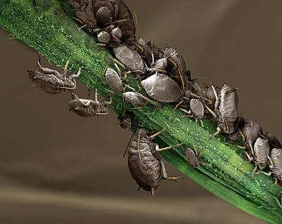 Black Aphid Colony Art Print by Clouds Hill Imaging Ltd