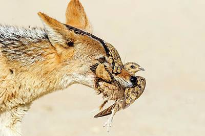 Black-backed Jackal Hunting Sandgrouse Print by Peter Chadwick
