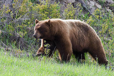 Boar Photograph - Black Bear Boar, Brown Color Phase by Ken Archer