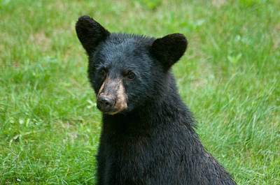Photograph - Black Bear Cub by Brenda Jacobs
