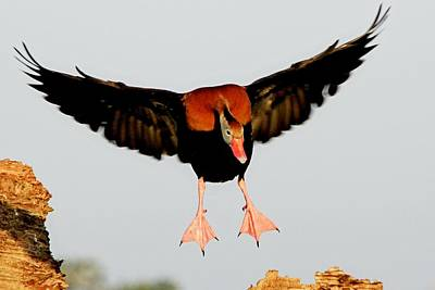 Photograph - Black Bellied Whistling Duck by Ira Runyan