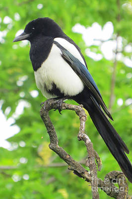 Photograph - Black-billed Magpie by Frank Townsley