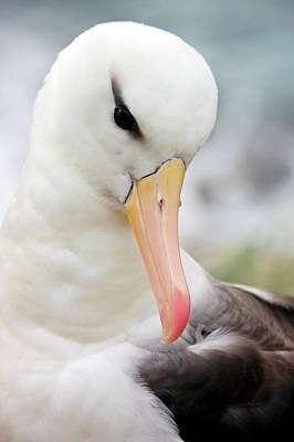 Black-browed Albatross Art Print