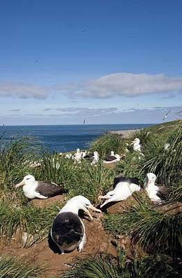 Black-browed Albatrosses With Their Young Art Print