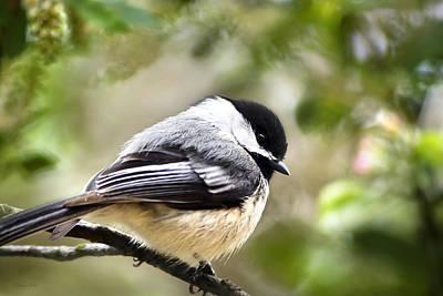 Photograph - Black-capped Chickadee by Christina Rollo