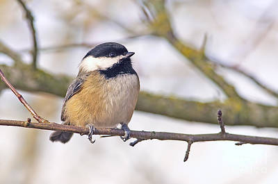 Photograph - Black Capped Chickadee by Sharon Talson