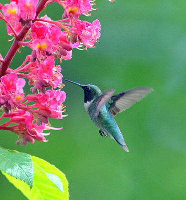 Black Chinned Hummingbird Art Print