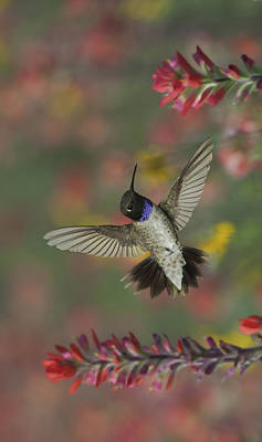 Photograph - Black-chinned Hummingbird by Gregory Scott