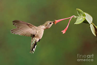 Black-chinned Hummingbird Art Print