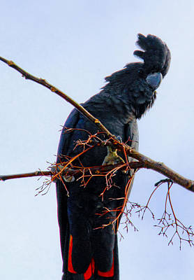 Photograph - Black Cockatoo by Debbie Cundy