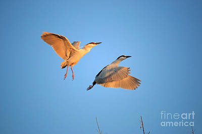 Photograph - Black Crowned Night Heron by Charline Xia