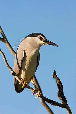 Romania Photograph - Black-crowned Night Heron (nycticorax by Martin Zwick