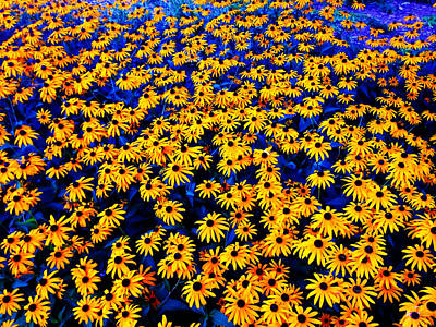 Photograph - Black Eyed Susan Flowers by Cristina Stefan