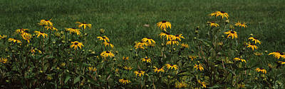 Black Eyed Susan Photograph - Black-eyed Susan Flowers Rudbeckia by Panoramic Images
