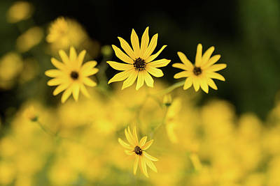 Black Eyed Susan Photograph - Black-eyed Susans In Bloom, Atlanta by Panoramic Images
