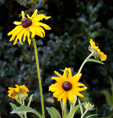Photograph - Black Eyed Susans by John Black