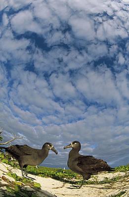 Black-footed Albatross Courtship Dance Art Print by Tui De Roy