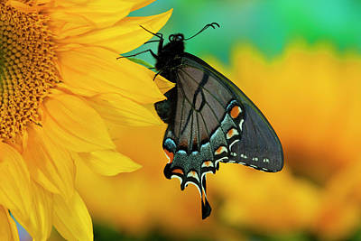 Butterfly Close Up Photograph - Black Form Of Eastern Tiger Swallowtail by Darrell Gulin