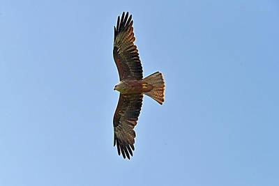 Photograph - Black Kite In Flight by Robert Kennett