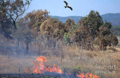Black Kite Photograph - Black Kites Over Brush Fire by Gregory G. Dimijian, M.D.