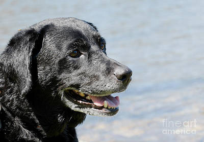 Photograph - Black Lab by Les Palenik