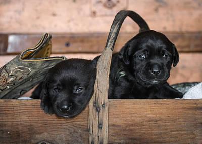 Black Lab Puppies Original