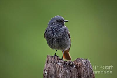 Redstart Photograph - Black Redstart by Marcus Bosch
