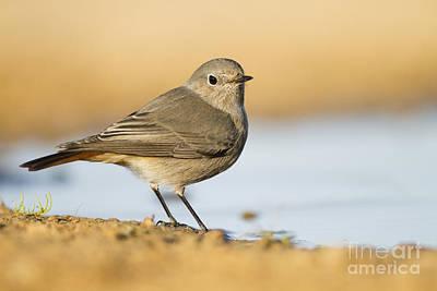 Redstart Photograph - Black Redstart Phoenicurus Ochruros by Eyal Bartov