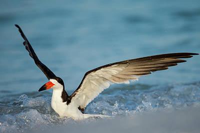 Black Skimmers Photograph - Black Skimmer Bathing Along Shoreline by Maresa Pryor